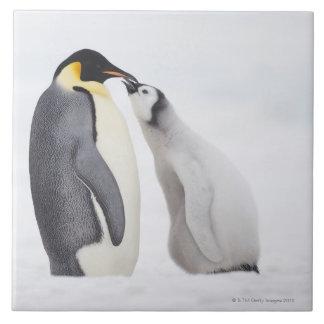 Pingüino de emperador (forsteri) del Aptenodytes,  Azulejo Cuadrado Grande