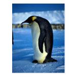 Pingüino de emperador por claro de luna tarjeta postal