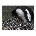 Pingüino de Gentoo - adulto con los pequeños pollu Tarjetas Postales