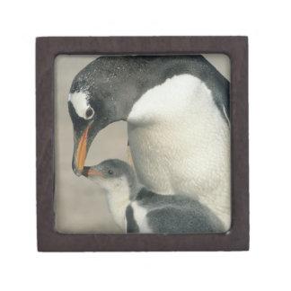 Pingüino de Gentoo, (Pygoscelis Papua), adulto Cajas De Joyas De Calidad
