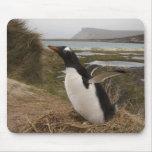 Pingüino de Gentoo (Pygoscelis Papua) en una jerar Tapete De Ratón