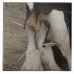 Pingüino de Gentoo (Pygoscelis Papua) y polluelos. Azulejo Cuadrado Grande