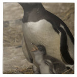 Pingüino de Gentoo (Pygoscelis Papua) y polluelos Azulejo Cuadrado Grande