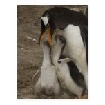 Pingüino de Gentoo (Pygoscelis Papua) y polluelos. Tarjeta Postal