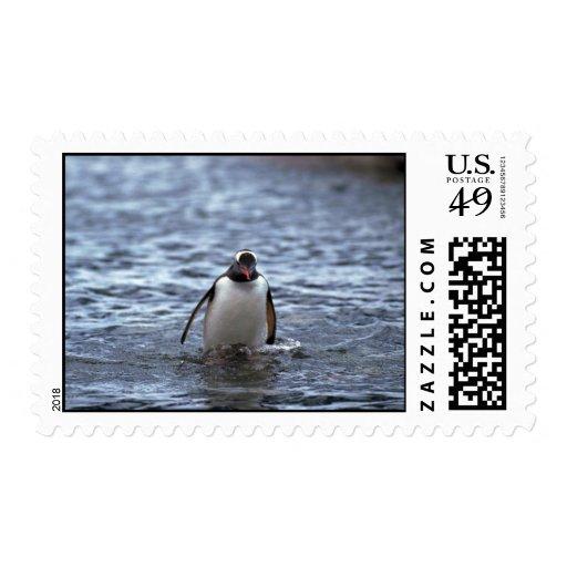 Pingüino de Gentoo que emerge del mar Sello