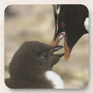pingüino de la Roca-tolva, chrysocome del Eudyptes Posavasos