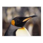 Pingüino de rey (patagonicus del Aptenodytes) Postales