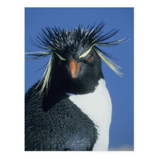 Pingüino de Rockhopper (chrysocome del Eudyptes) Postal