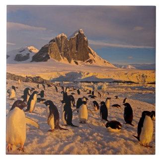 pingüino del adelie, Pygoscelis Adeliae, colonia a Azulejo Cuadrado Grande