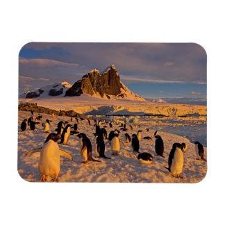 pingüino del adelie Pygoscelis Adeliae colonia a Iman