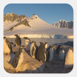 pingüino del gentoo Pygoscelis Papua colonia ade Calcomanías Cuadradas Personalizadas