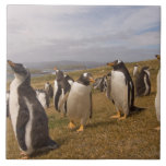 pingüino del gentoo, Pygoscelis Papua, colonia de  Azulejo