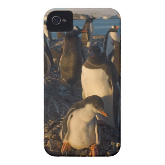 pingüino del gentoo, Pygoscelis Papua, colonia de  iPhone 4 Protector