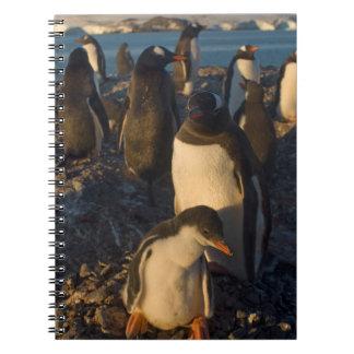 pingüino del gentoo, Pygoscelis Papua, colonia de  Libros De Apuntes