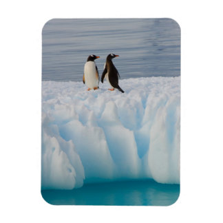 pingüino del gentoo Pygoscelis Papua en el hielo Iman Rectangular