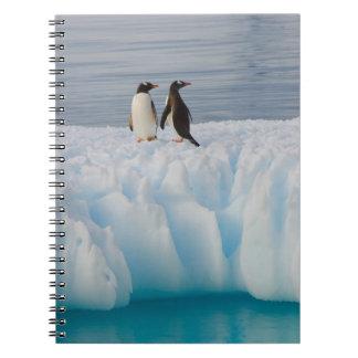 pingüino del gentoo, Pygoscelis Papua, en el hielo Libreta
