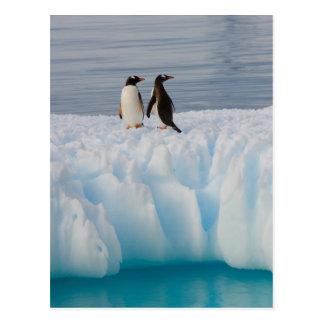pingüino del gentoo Pygoscelis Papua en el hielo Tarjetas Postales