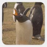 pingüino del gentoo, Pygoscelis Papua, llamando, Pegatina Cuadrada