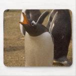 pingüino del gentoo, Pygoscelis Papua, llamando, Mouse Pads