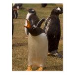 pingüino del gentoo, Pygoscelis Papua, llamando, Tarjetas Postales