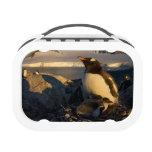 pingüino del gentoo, Pygoscelis Papua, padre con