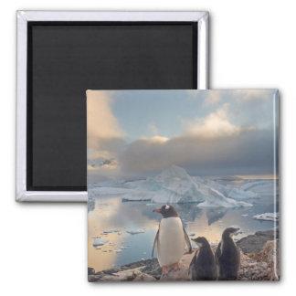 pingüino del gentoo Pygoscelis Papua padre con 2 Iman De Nevera