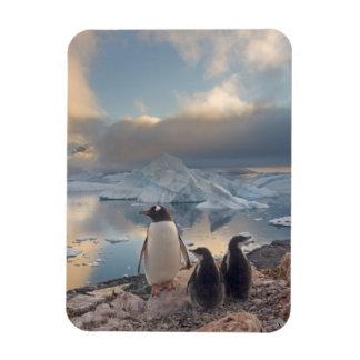 pingüino del gentoo Pygoscelis Papua padre con 2 Iman Rectangular