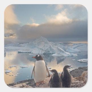 pingüino del gentoo, Pygoscelis Papua, padre con 2 Pegatina Cuadrada