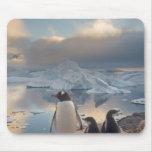 pingüino del gentoo, Pygoscelis Papua, padre con 2 Mouse Pad