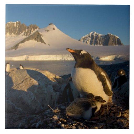 pingüino del gentoo, Pygoscelis Papua, padre con Azulejo Cuadrado Grande