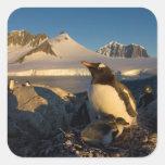pingüino del gentoo, Pygoscelis Papua, padre con Pegatina Cuadrada
