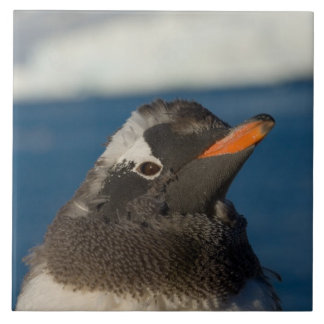 pingüino del gentoo, Pygoscelis Papua, polluelo ad Azulejo Cuadrado Grande