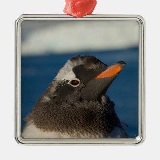 pingüino del gentoo, Pygoscelis Papua, polluelo Adorno Cuadrado Plateado