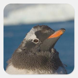 pingüino del gentoo, Pygoscelis Papua, polluelo Pegatina Cuadrada