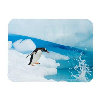 pingüino del gentoo Pygoscelis Papua saltando de Imán Flexible