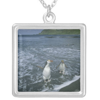 Pingüino real, (schlegeli del Eudyptes), volviendo Pendiente