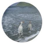 Pingüino real, (schlegeli del Eudyptes), volviendo Platos