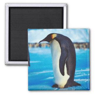 Pingüino solitario imán para frigorífico