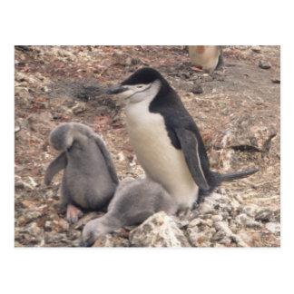 Pingüino y polluelos de Chinstrap Tarjetas Postales
