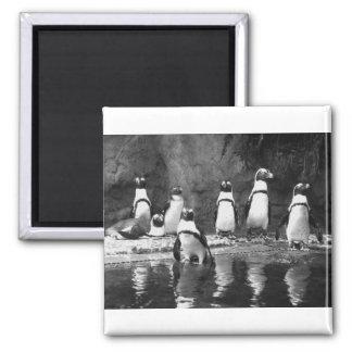 Pingüinos a montones imán cuadrado