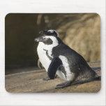 Pingüinos africanos alfombrilla de ratón