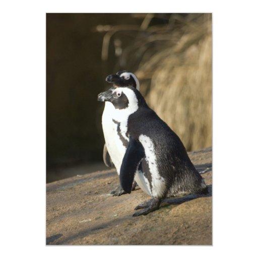 Pingüinos africanos comunicado