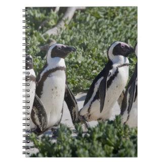 Pingüinos africanos, conocidos antes como Jackass Cuadernos