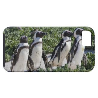 Pingüinos africanos, conocidos antes como Jackass iPhone 5 Carcasa