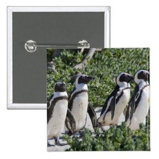 Pingüinos africanos, conocidos antes como Jackass Pin Cuadrado