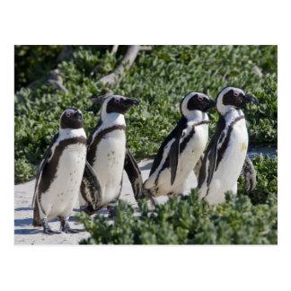 Pingüinos africanos, conocidos antes como Jackass Postales