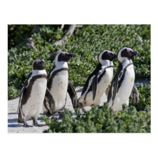 Pingüinos africanos, conocidos antes como Jackass Tarjetas Postales