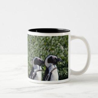 Pingüinos africanos, conocidos antes como Jackass Taza De Dos Tonos