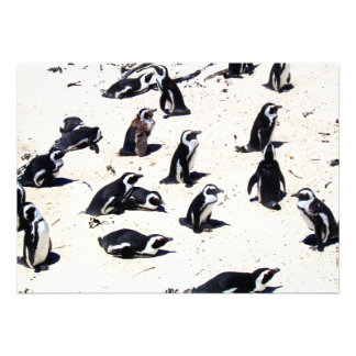 Pingüinos africanos en la playa de los cantos roda comunicados