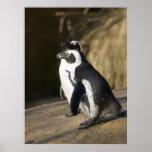 Pingüinos africanos impresiones